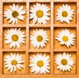 Rectángulo de sombra con las margaritas blancas Imagen de archivo