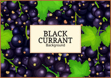 Rectangle label on ripe black currant background. Vector card illustration. Black berry branch fresh and juicy currant Royalty Free Stock Image
