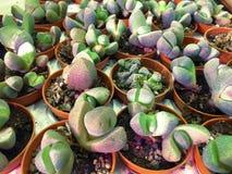 Rectangular arrangement of succulents, cactus succulents in a planter. Rectangular arrangement of succulents, cactus succulents royalty free stock images