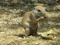 Ground Squirrel Pig Out stock image
