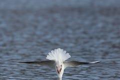 Rectrix i skrzydła bezgłowy frajera larus ridibundus tuż przed obraz royalty free