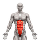 Rectus Abdominis - Abdominal Muscles - Anatomy Muscles isolated. On white - 3D illustration Stock Photo
