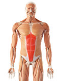 The rectus abdominis. Medically accurate illustration of the rectus abdominis Royalty Free Stock Images