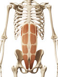 The rectus abdominis Royalty Free Stock Images