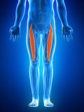 The rectus femoris Stock Photography