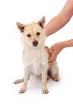 Recue o cão do salvamento com mãos Fotografia de Stock