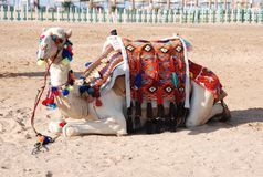 Recumbent camel Royalty Free Stock Images