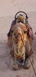 Recumbent camel Stock Photography