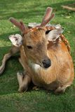 The recumbent deer on the ground Royalty Free Stock Images