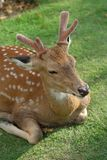 The recumbent deer on the ground Stock Image