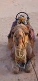 Recumbent Kamel Stockfotografie