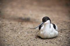 Recurvirostra avosetta Royalty Free Stock Photography