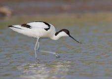 Recurvirostra avosetta fotografia royalty free