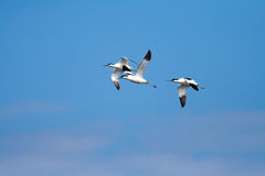 recurvirostra avosetta avocet pied Стоковая Фотография