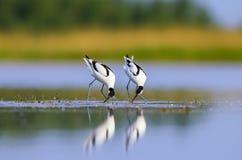 Recurvirostra avosetta Stock Photography