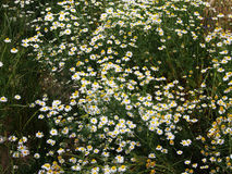Recutita do Matricaria do syn do chamomilla do Matricaria & x28; chamomile& x29; imagens de stock royalty free