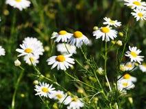 Recutita do Matricaria do syn do chamomilla do Matricaria & x28; chamomile& x29; Fotografia de Stock