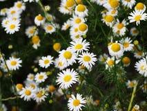 Recutita för Matricaria för Matricariachamomillasyn & x28; chamomile& x29; Arkivfoton