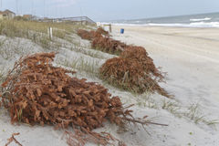 Recycled Christmas Trees Prevent Beach Erosion Royalty Free Stock Image