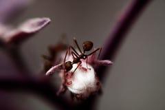 Red†‹蚂蚁 库存图片