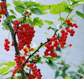 Red сurrant ripens in the garden Royalty Free Stock Photos