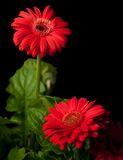 Red. Flowers on a black background.  Perfect for various cropping and background accents Royalty Free Stock Photography