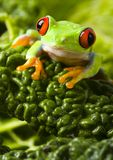 Red. Frog - small animal with smooth skin and long legs that are used for jumping. Frogs live in or near water. / The Agalychnis callidryas, commonly know as the Stock Photo