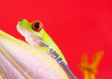 Red. Frog - small animal with smooth skin and long legs that are used for jumping. Frogs live in or near water. / The Agalychnis callidryas, commonly know as the Stock Photography