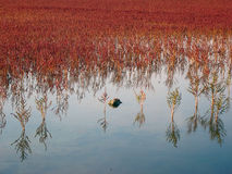 Red. Plants of Salicornia europea emerging from shallow water in solar salterns stock photo