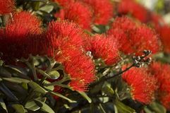 Red. Blossoming flowers of pohutukawa, New Zealand Christmas tree royalty free stock photos
