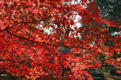 Red. Leaves on a branch royalty free stock image