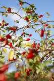 Red. Rose hips in autumn stock photos