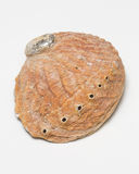 Red abalone shell. A read abalone shell isolated on a white background Stock Photography