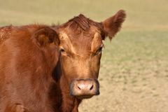 Red Aberdeen Angus cattle head royalty free stock image