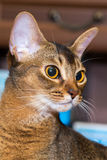 Red Abyssinian cat face Royalty Free Stock Photo