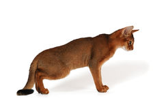 Red abyssinian kitten. On white background with shadow Royalty Free Stock Photography