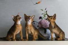 Red and Abyssinian kittens play stock images