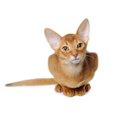Red abyssinian sits isolated on white. Sorrel color abyssinian sits isolated on white and looking at camera Royalty Free Stock Images