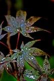 Red Acer. Acer palmatum - japanes maple, shallow dof stock photos