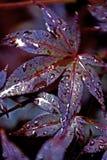 Red Acer. Acer palmatum- japanese maple, shallow dof, grainy on purpose royalty free stock photo