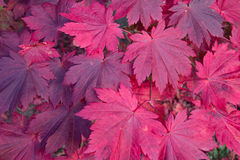 Red Acer Stock Photo