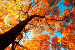 The red acer elegantulum and blue sky Royalty Free Stock Images