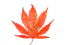 Red Acer leaf. Red Autumnal Acer leaf isolated against white Royalty Free Stock Image