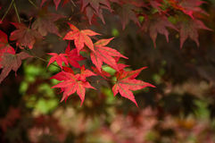 Red Acer leaves. Bright red Acer leaves against backdrop of darker leaves Royalty Free Stock Photo