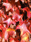 Red acer palmatum in autumn Royalty Free Stock Image