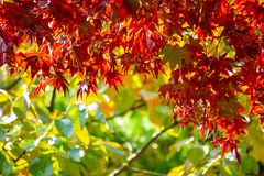 Japanese-maple leaves over the clear blue sky. Leaves changing its colour when autumn stock photos