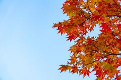 Japanese-maple leaves over the clear blue sky. Leaves changing its colour when autumn royalty free stock photos