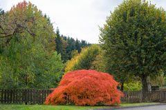 Red acer palmatum dissectum atropurpureum in front of the fence. Starting breath fresh air in autumnal park in reconfortant atmosphere Royalty Free Stock Images