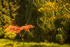 Red Acer Royalty Free Stock Photography