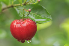 Red acerola cherry on tree Stock Photography
